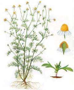 Homeopatía: Otitis - Chamomilla